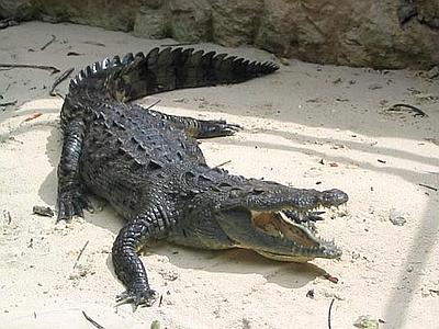 coccodrillo